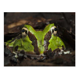 Pacific Horned Frog Ceratophrys stolzmanni) 2 Postcard
