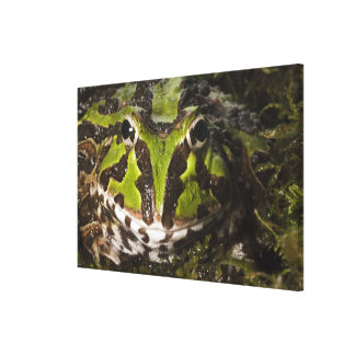 Pacific Horned Frog Ceratophrys stolzmanni) 3 Canvas Print