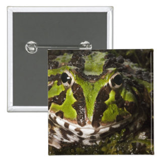 Pacific Horned Frog Ceratophrys stolzmanni) 3 Pinback Button
