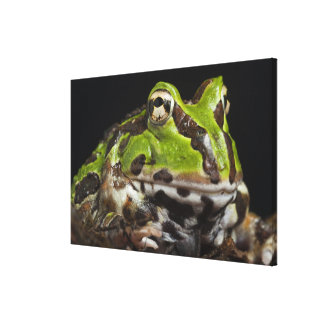 Pacific Horned Frog Ceratophrys stolzmanni) Canvas Print
