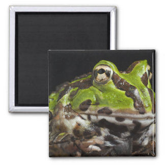 Pacific Horned Frog Ceratophrys stolzmanni) Magnet