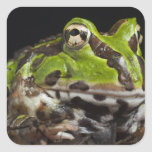 Pacific Horned Frog Ceratophrys stolzmanni) Square Sticker