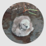 Pacific Loon Chick Stickers