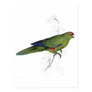 Pacific Parrakeet by Edward Lear Postcard