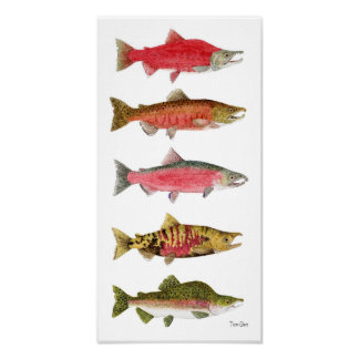 Pacific Salmon in Spawning Colors Art Poster