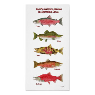 Pacific Salmon Species Art Poster