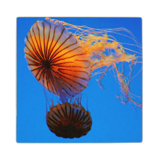 Pacific Sea Nettle (Chrysaora Fuscescens) Wooden Coaster