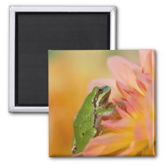 Pacific tree frog on flowers in our garden, 2 2 inch square magnet