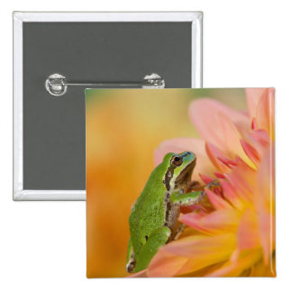 Pacific tree frog on flowers in our garden, 2 2 inch square button
