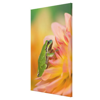 Pacific tree frog on flowers in our garden, 2 canvas print