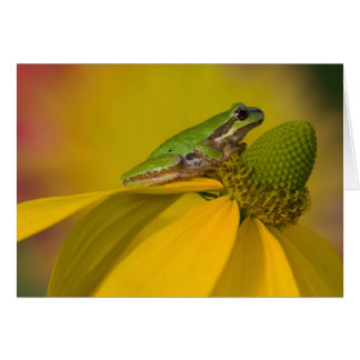 Pacific tree frog on flowers in our garden, 2 card
