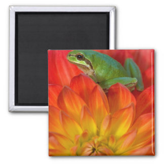 Pacific tree frog on flowers in our garden, 2 inch square magnet