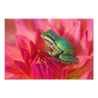 Pacific tree frog on flowers in our garden, 2 photo print