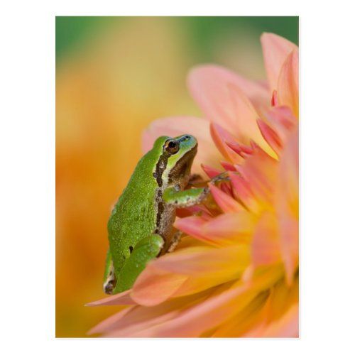 Pacific tree frog on flowers in our garden 2 postcard