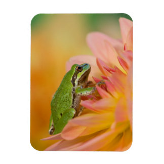 Pacific tree frog on flowers in our garden, 2 rectangular photo magnet