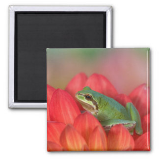 Pacific tree frog on flowers in our garden, 3 2 inch square magnet