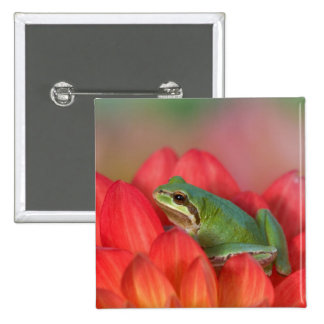 Pacific tree frog on flowers in our garden, 3 2 inch square button