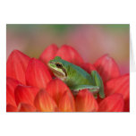 Pacific tree frog on flowers in our garden, 3 greeting card
