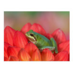 Pacific tree frog on flowers in our garden, 3 post card