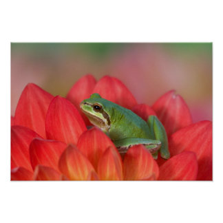 Pacific tree frog on flowers in our garden, 3 poster