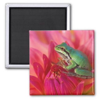 Pacific tree frog on flowers in our garden, 4 2 inch square magnet