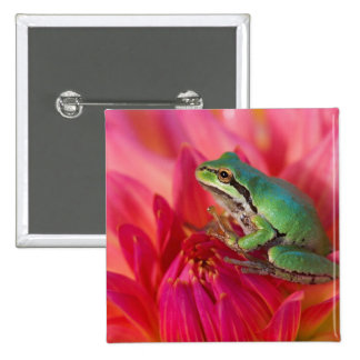 Pacific tree frog on flowers in our garden, 4 2 inch square button