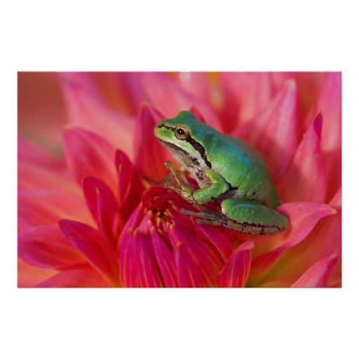 Pacific tree frog on flowers in our garden, 4 print