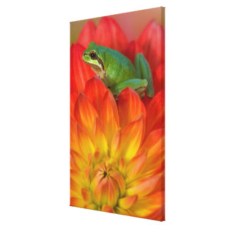 Pacific tree frog on flowers in our garden, canvas print