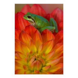 Pacific tree frog on flowers in our garden, poster