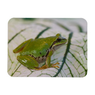 Pacific tree frog on flowers in our garden, rectangular photo magnet