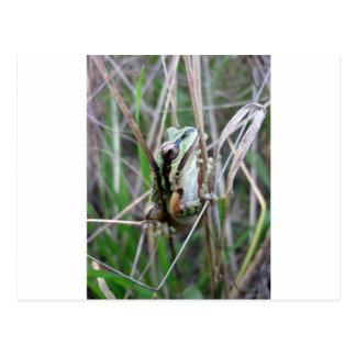 Pacific Treefrog or Chorus Frog Postcard