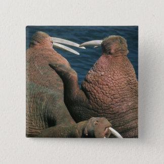 Pacific Walrus Odobenus rosmarus) Males 2 Button
