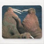 Pacific Walrus Odobenus rosmarus) Males 2 Mousepads