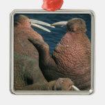 Pacific Walrus Odobenus rosmarus) Males 2 Christmas Tree Ornaments