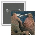 Pacific Walrus Odobenus rosmarus) Males 2 Pins