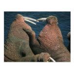 Pacific Walrus Odobenus rosmarus) Males 2 Postcards