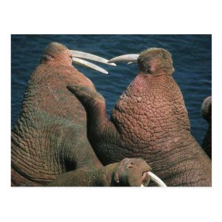 Pacific Walrus Odobenus rosmarus) Males 2 Postcard