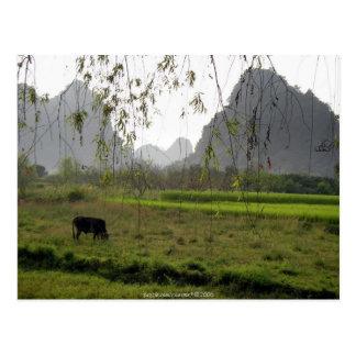 Pacífico vaca que pasta en el campo de Guilin Chi Tarjeta Postal