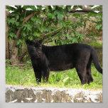 Pacing Panther Poster