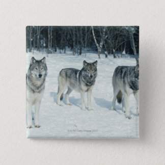 Pack of wolves at edge of snowy forest button