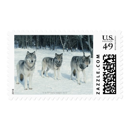 Pack of wolves at edge of snowy forest postage
