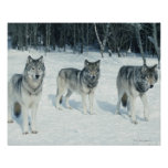 Pack of wolves at edge of snowy forest posters