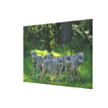 Pack of Wolves, Germany Canvas Print