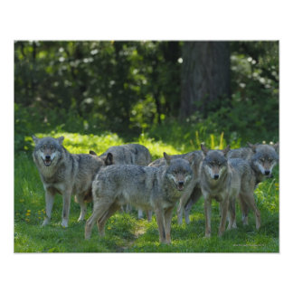 Pack of Wolves, Germany Poster
