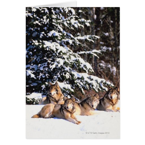 Pack of wolves in winter card