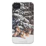 Pack of wolves in winter iPhone 4 cover