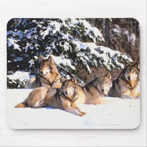 Pack of wolves in winter mousepad