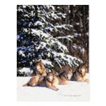 Pack of wolves in winter postcard