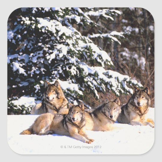 Pack of wolves in winter square sticker
