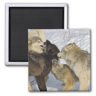 Pack of wolves interacting 2 inch square magnet